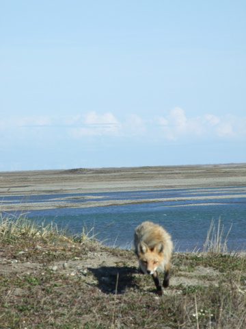 arctic fox 360x480