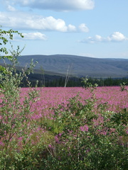 Dalton Highway flowers