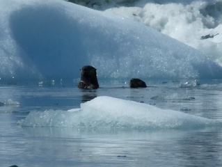 Sea Otters sheltering in the ice field