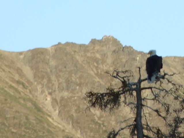 bald eagle 639x480