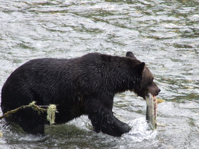 bear fish lunch 640x480
