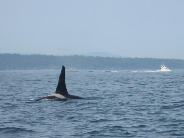killer whale 640x480