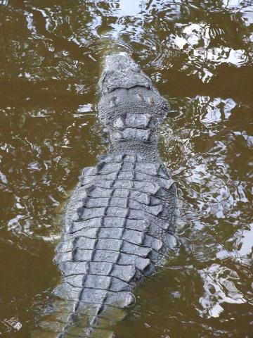 crocodile 360x480