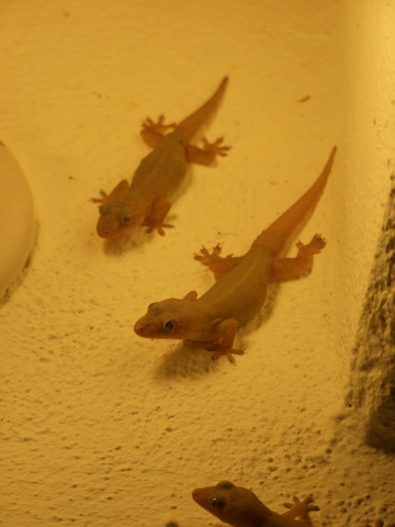 gecko lizards 360x480