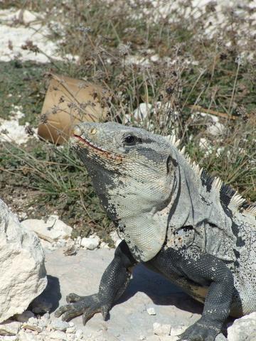 iguana 360x480
