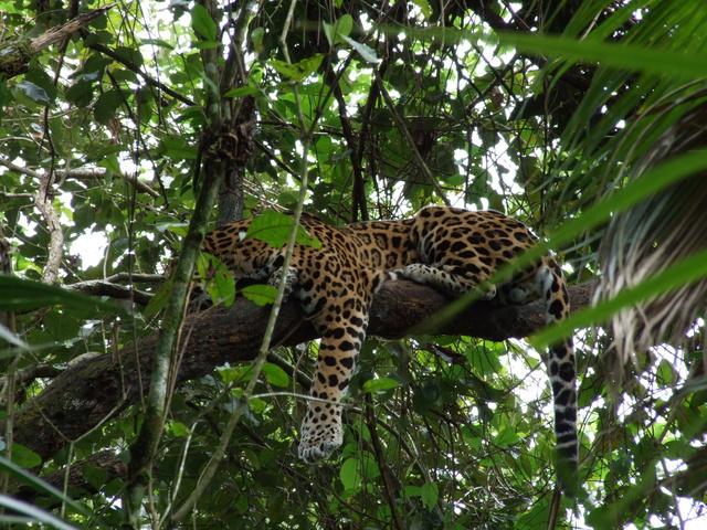 jaguar 640x480