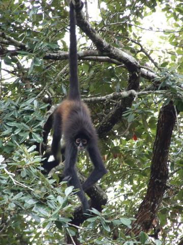 spider monkey 360x480