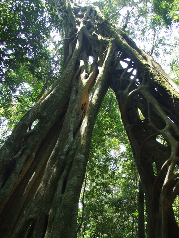 giant fig tree 360x480
