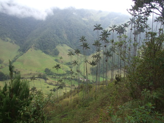 The amazing wax palms in Valle de Cocora