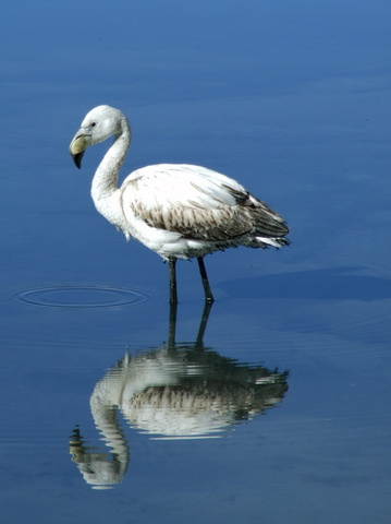 white_flamingo