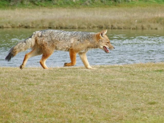 fox sneaking 639x480