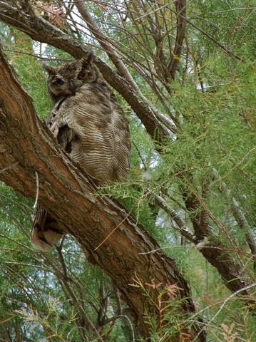 owl 359x480