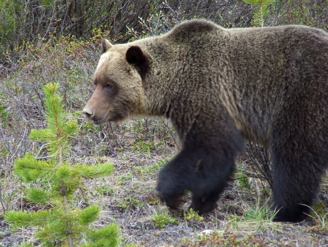 grizzly bear 639x480