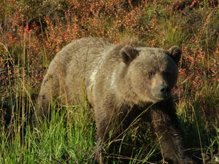 Grizzley sow on the side of the road