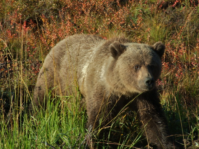 dempster grizzley bear sow 640x480