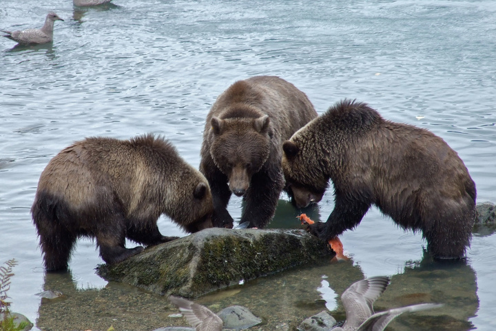 haines bears family 720x480