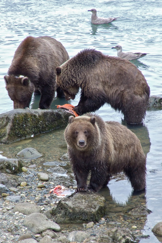 haines bears watching 320x480