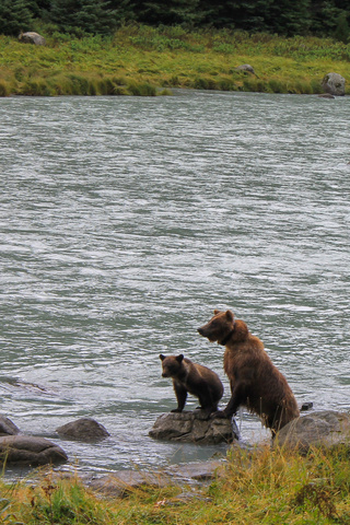 bear and cub chilkoot river 320x480