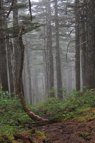 haines coastal forest 320x480