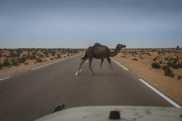 camel on road 720x480