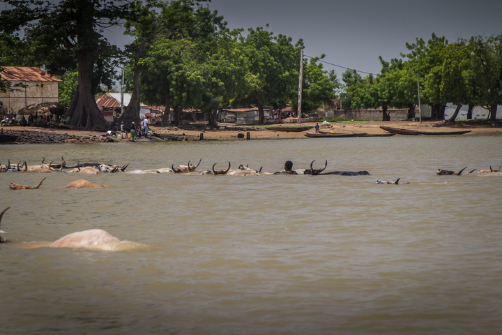 Cattle swimming to cross the river