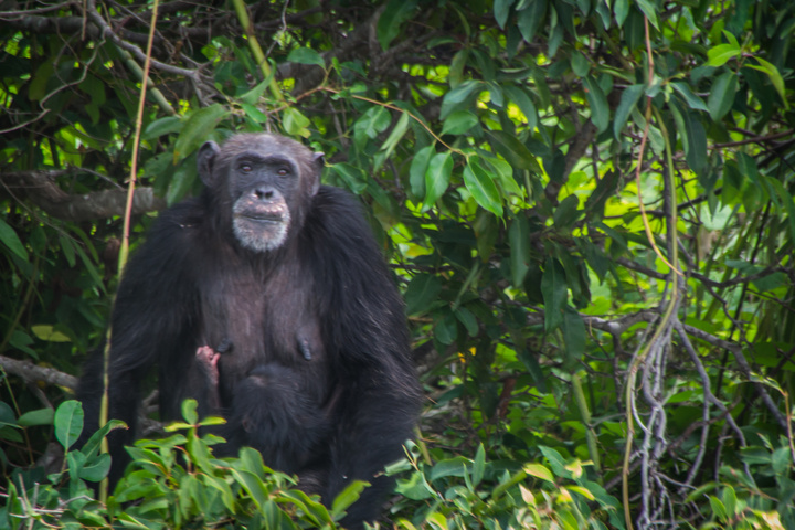 georgetown gambia chimpanzee with baby 720x480