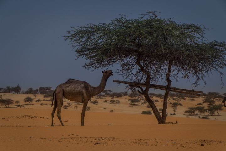 Camels are all over the place - hard to say if they are wild or not