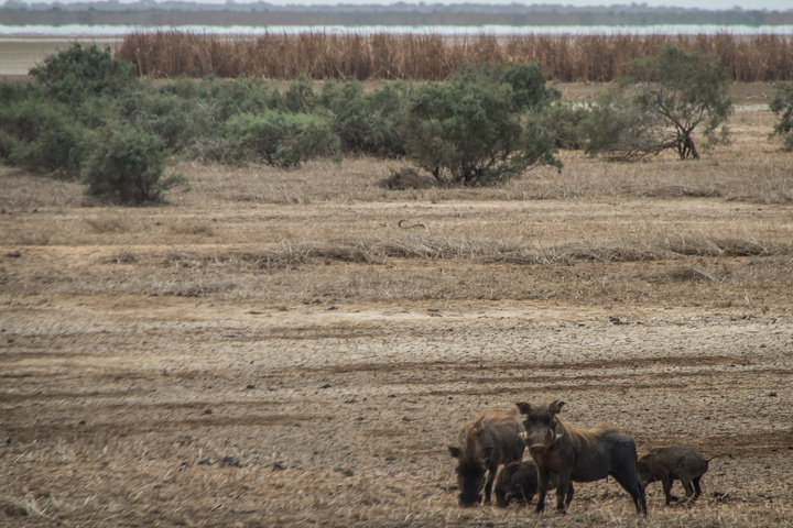 Warthogs! Right on the side of the road. My first genuinely African animal spot!
