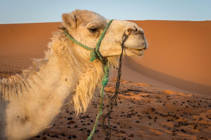 sahara camel 720x480