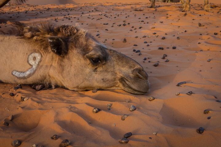 sahara camel resting 720x480