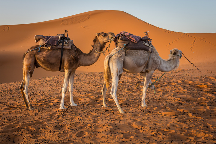 sahara morning camels 720x480