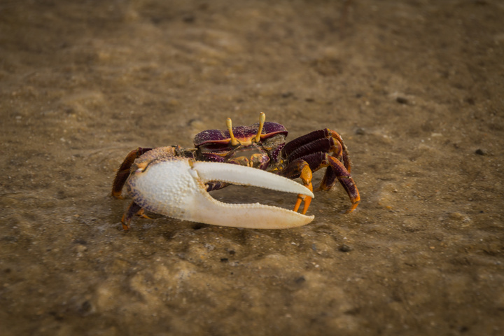 These lopsided crabs cover the tidal flats, making the ground look alive when they move