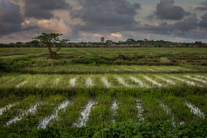 senegal casamance rice fields 720x480