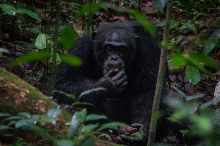 ivory coast tai chimp eating 720x480