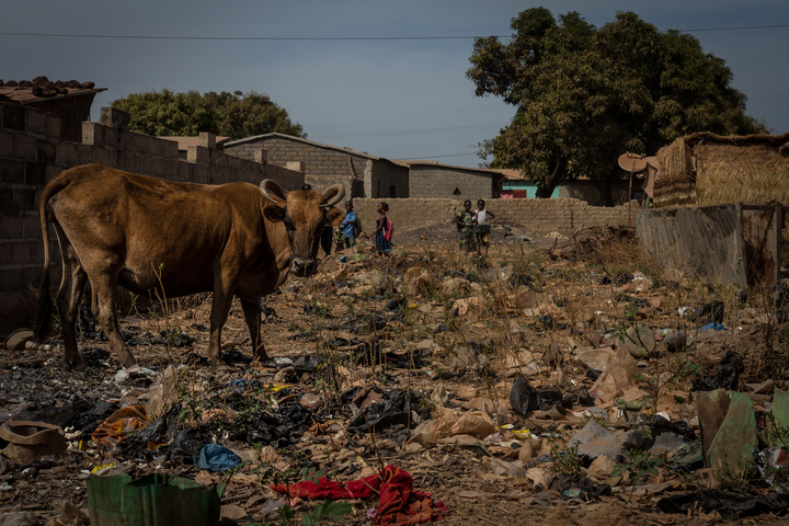 Cows regularly browse through piles of trash for food
