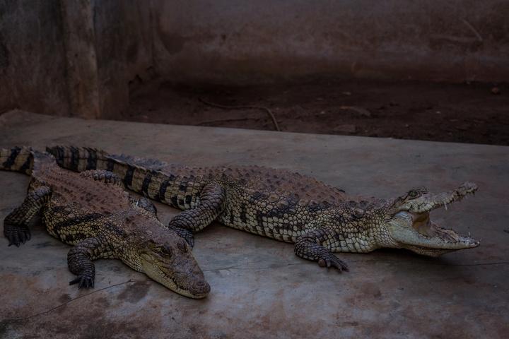 abomey crocodiles 720x480