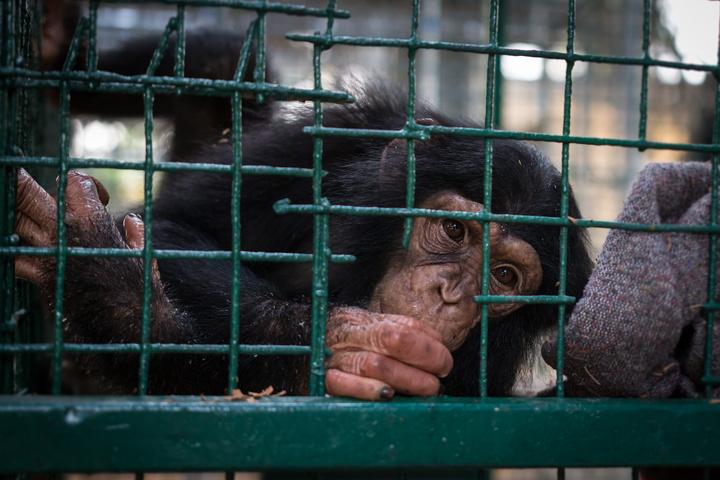 calabar drill ranch chimp2 720x480
