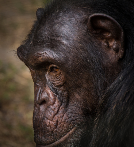 nigeria drill rannch chimp face 437x480