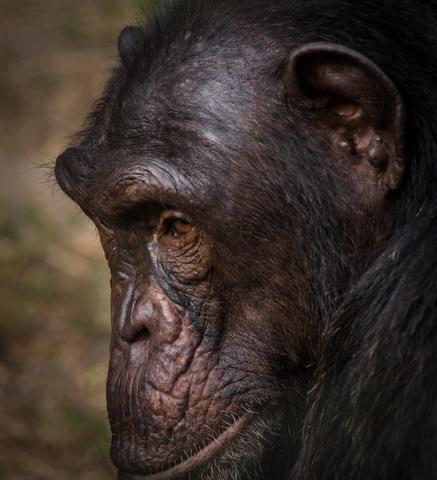 nigeria drill rannch chimp face 437x480