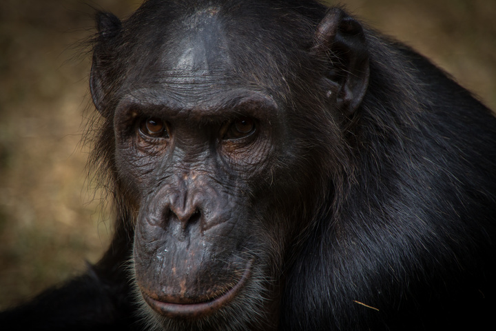 nigeria drill rannch chimp face serious 720x480