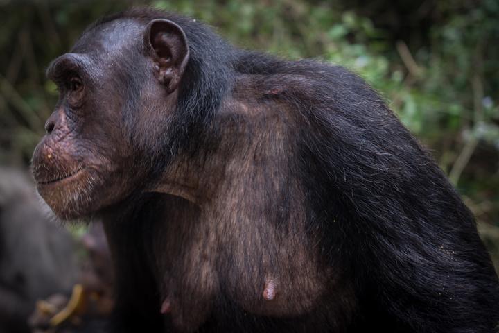 nigeria drill rannch chimp looking 720x480
