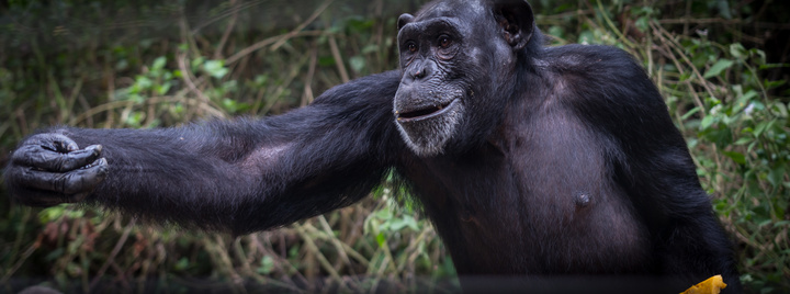 nigeria drill rannch chimp reaching 720x268