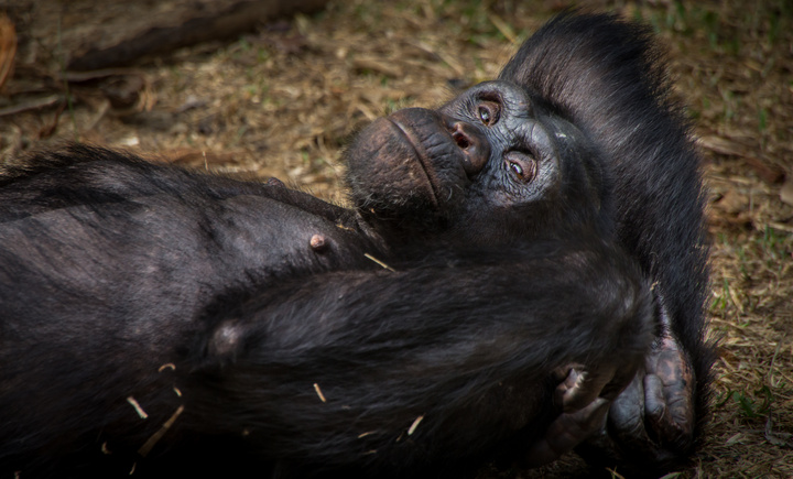 nigeria drill rannch chimp relaxing 720x435