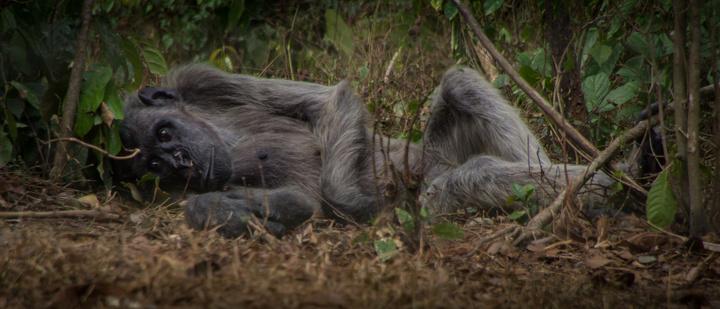 nigeria drill rannch chimp sierra leon 720x309