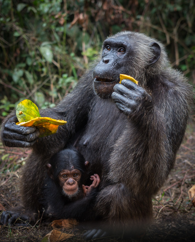 nigeria drill rannch chimp with baby 387x480