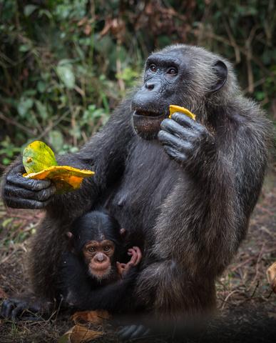 nigeria drill rannch chimp with baby 387x480