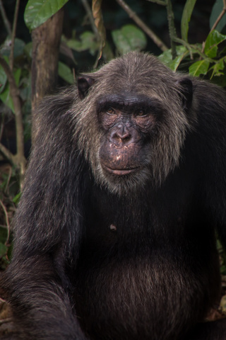 nigeria drill rannch old chimp 320x480