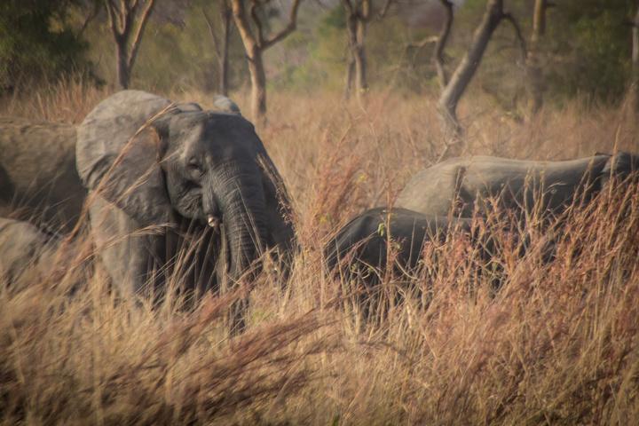 pendjari benin elephant herd 720x480