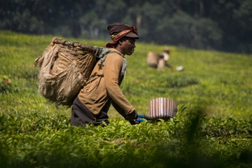 The workers cut the top off the tea plants by hand, then drop it into the bag on their backs