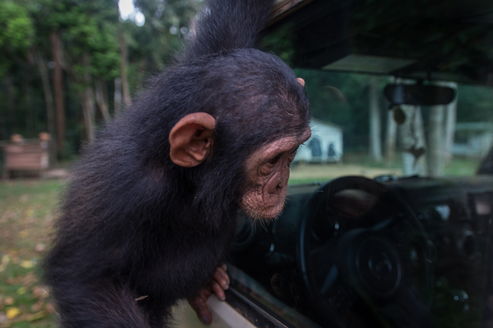 africa jeep chimpanzee 720x480